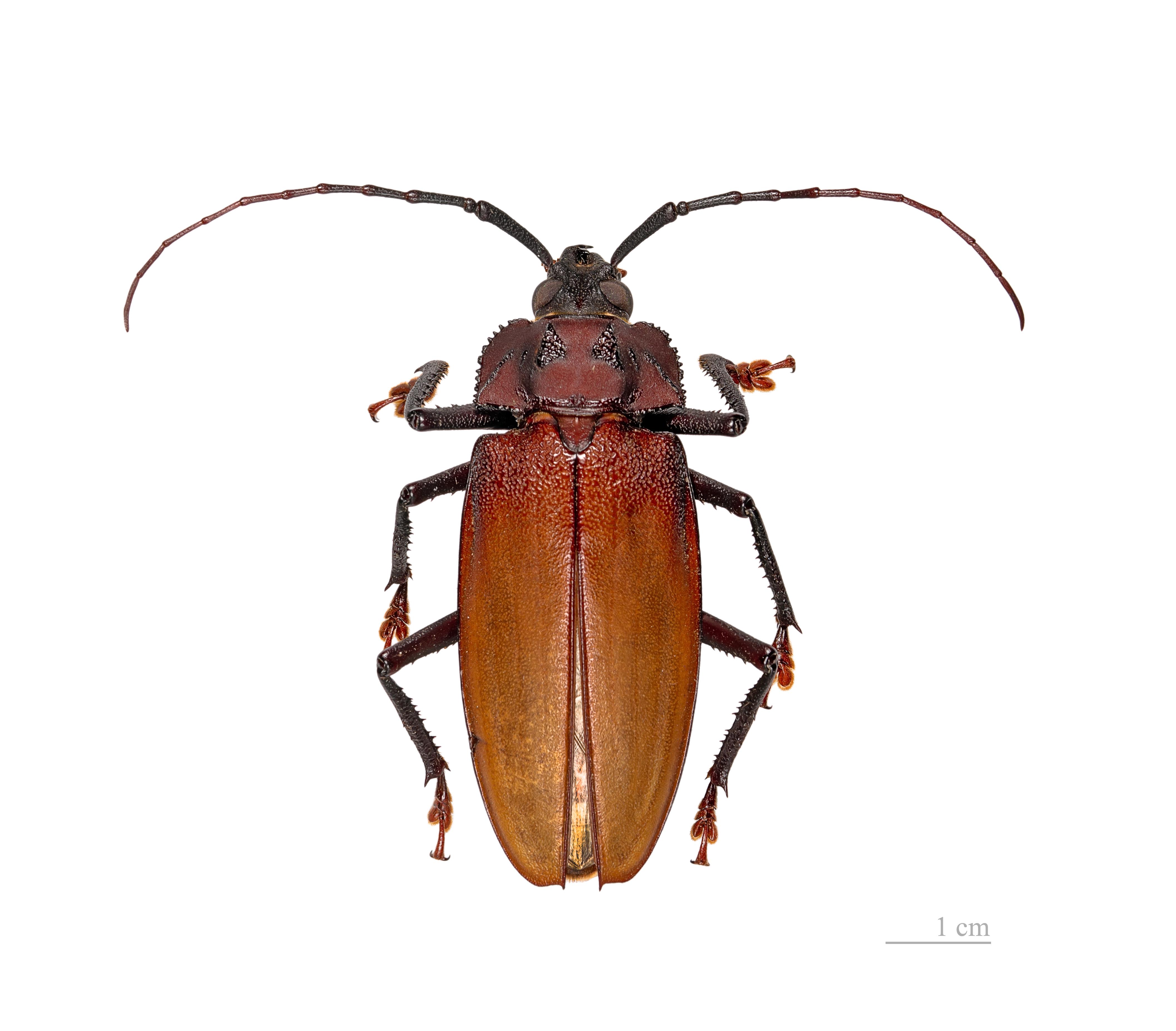 Image of <i>Ialyssus tuberculatus</i> (Olivier 1795)