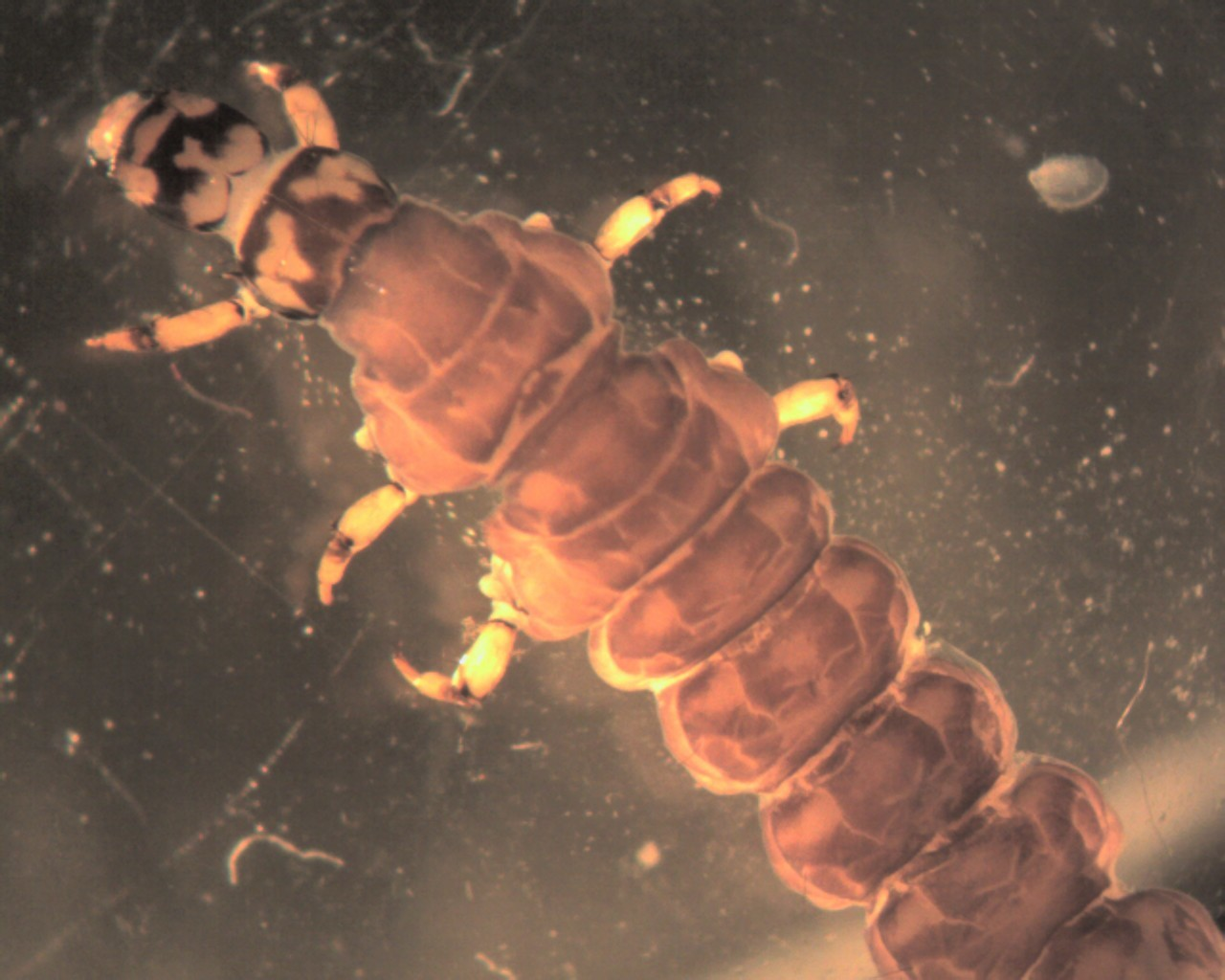 Image of Rhyacophila