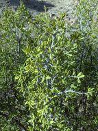 Image of <i>Diospyros texana</i> Scheele