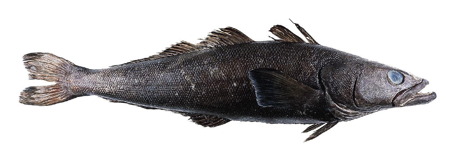 Image of Chilean Sea Bass