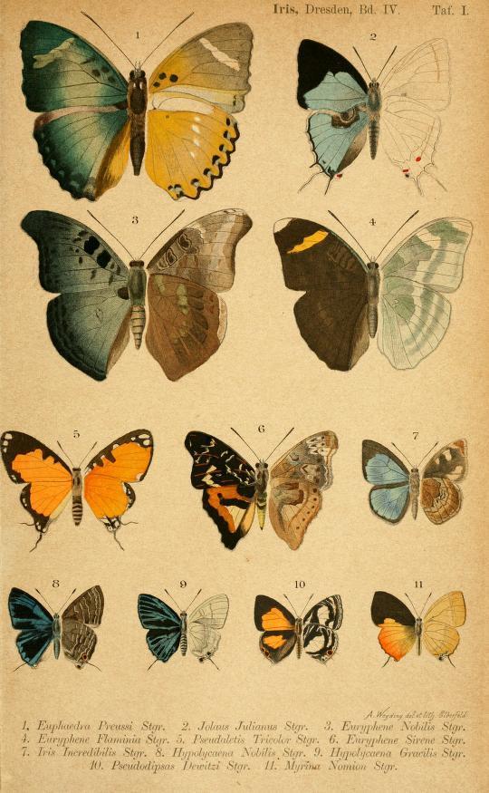 Image of <i>Iridana incredibilis</i> (Staudinger 1891)