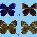 Image of <i>Ptychandra ohtanii</i> Hayashi
