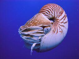Image of Palau nautilus
