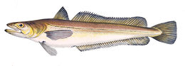 Image of Cornish Salmon