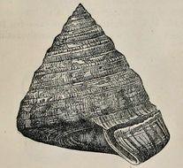 Image of <i>Entemnotrochus adansonianus</i> (Crosse & P. Fischer 1861)