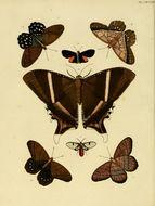 Image of <i>Pierella lena</i> Linnaeus 1767