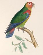 Image of Rusty-faced Parrot