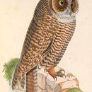 Image of Rufous-legged Owl