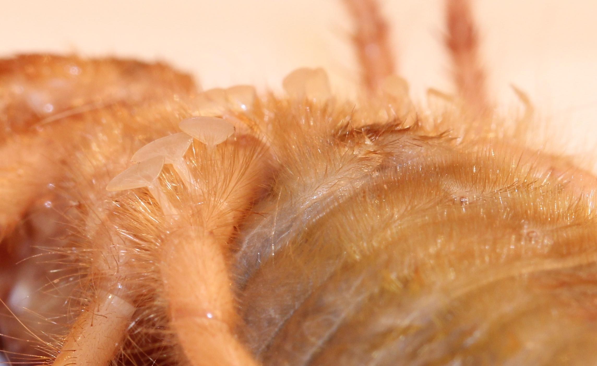 Image of Solpugidae