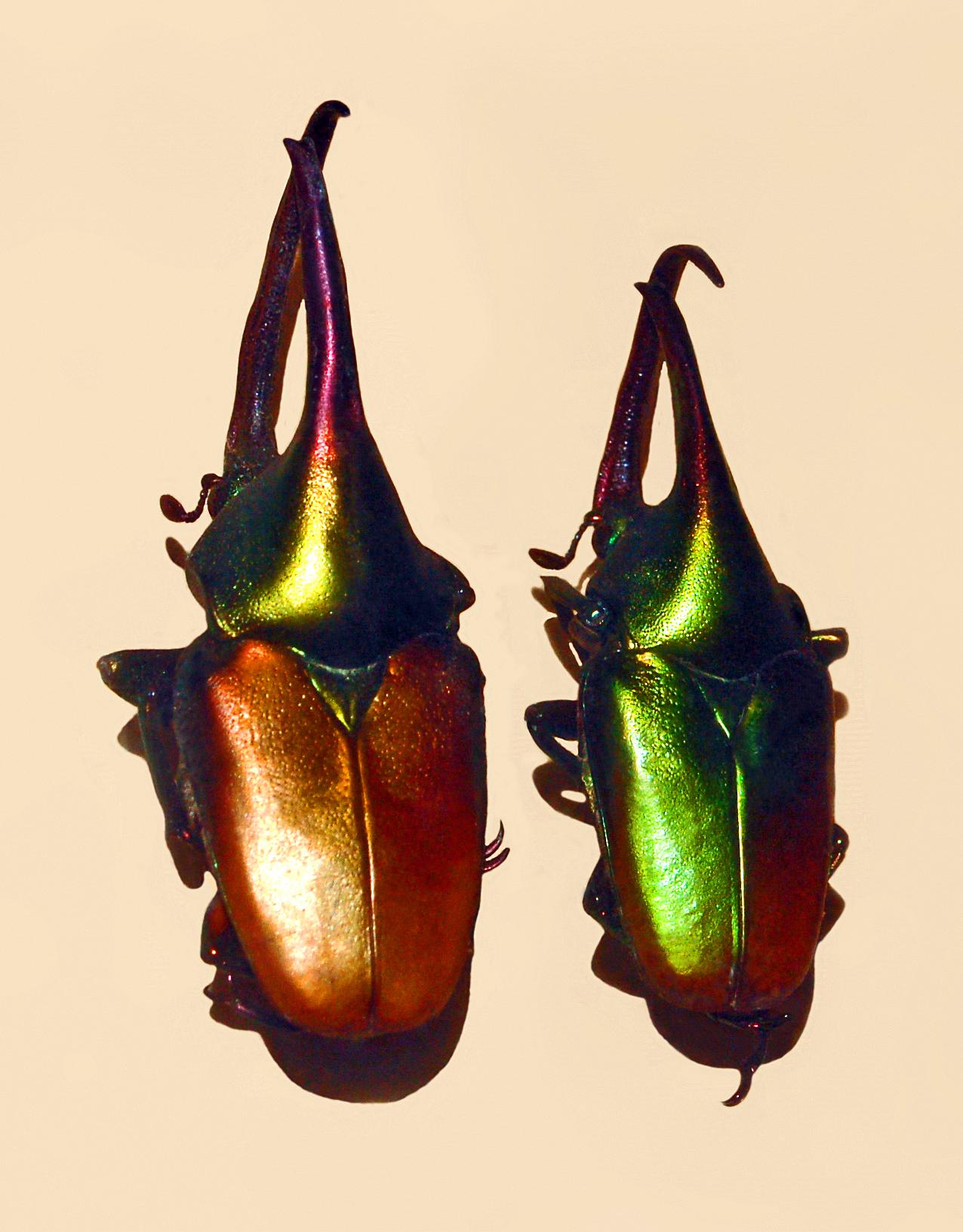 Image of <i>Theodosia viridiaurata</i> (Bates 1889)