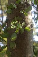 Image of <i>Meliosma oldhamii</i> Maxim.