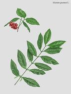 Image of buko