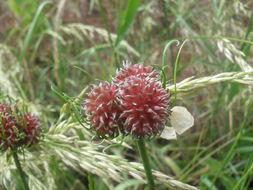Image of wild garlic