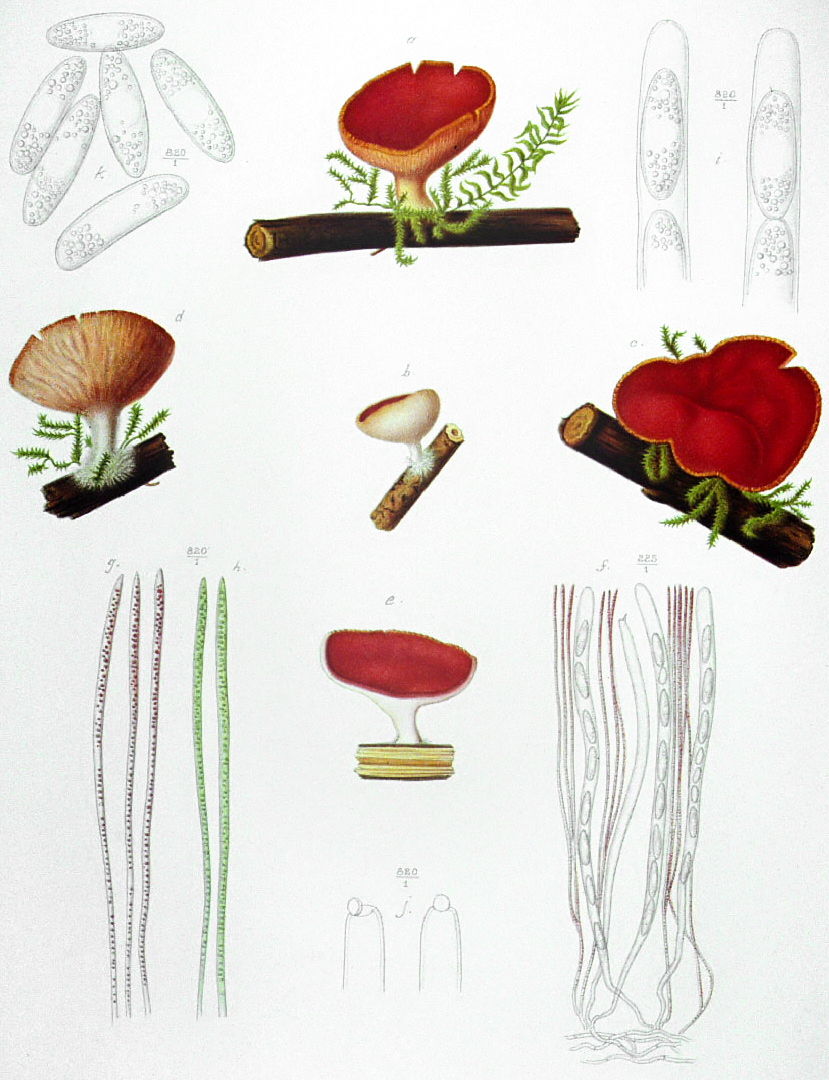 Image of Ruby elfcup