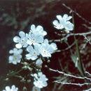 Image of <i>Hackelia cronquistii</i> J. L. Gentry