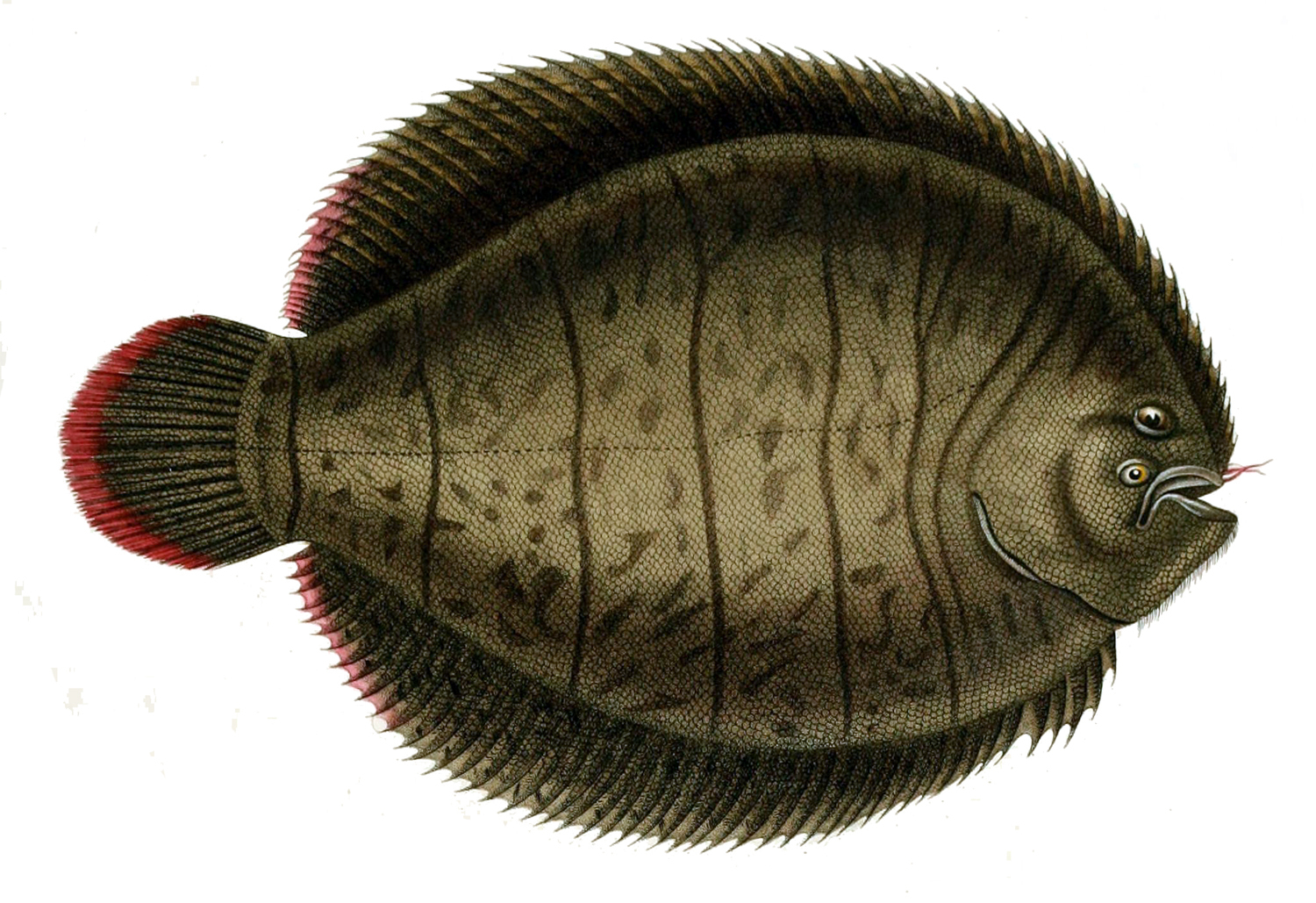 Image of Lined Sole