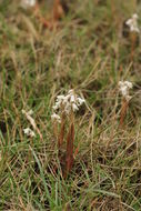 Image of Lawn orchid