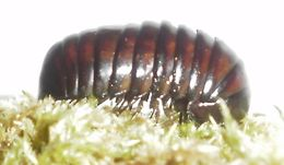 Image of Procyliosoma