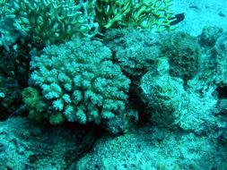 Image of Dwarf scorpionfish