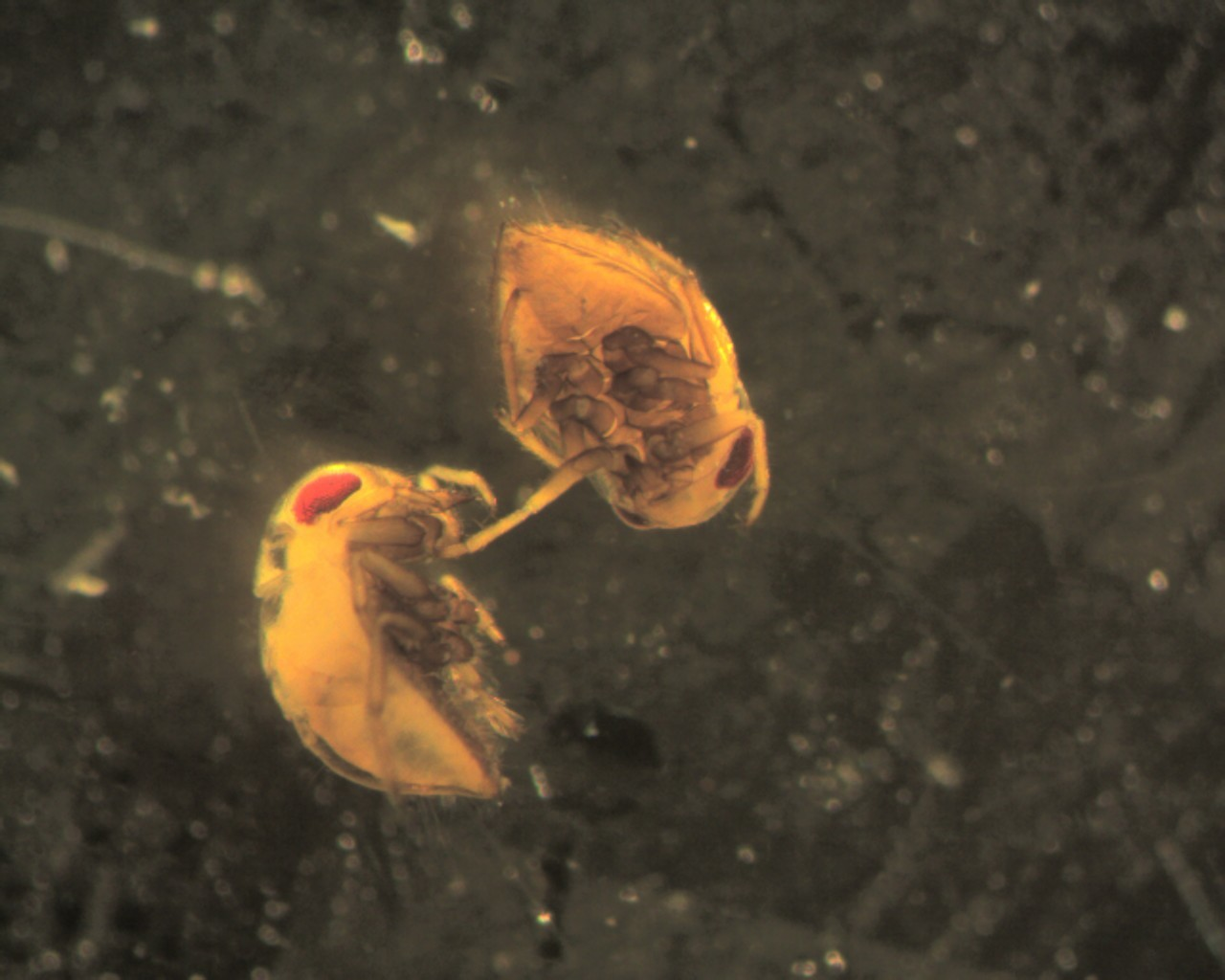 Image of pygmy backswimmers