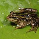 Image of Albanian Water Frog