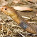 Image of Katian Spitting Cobra