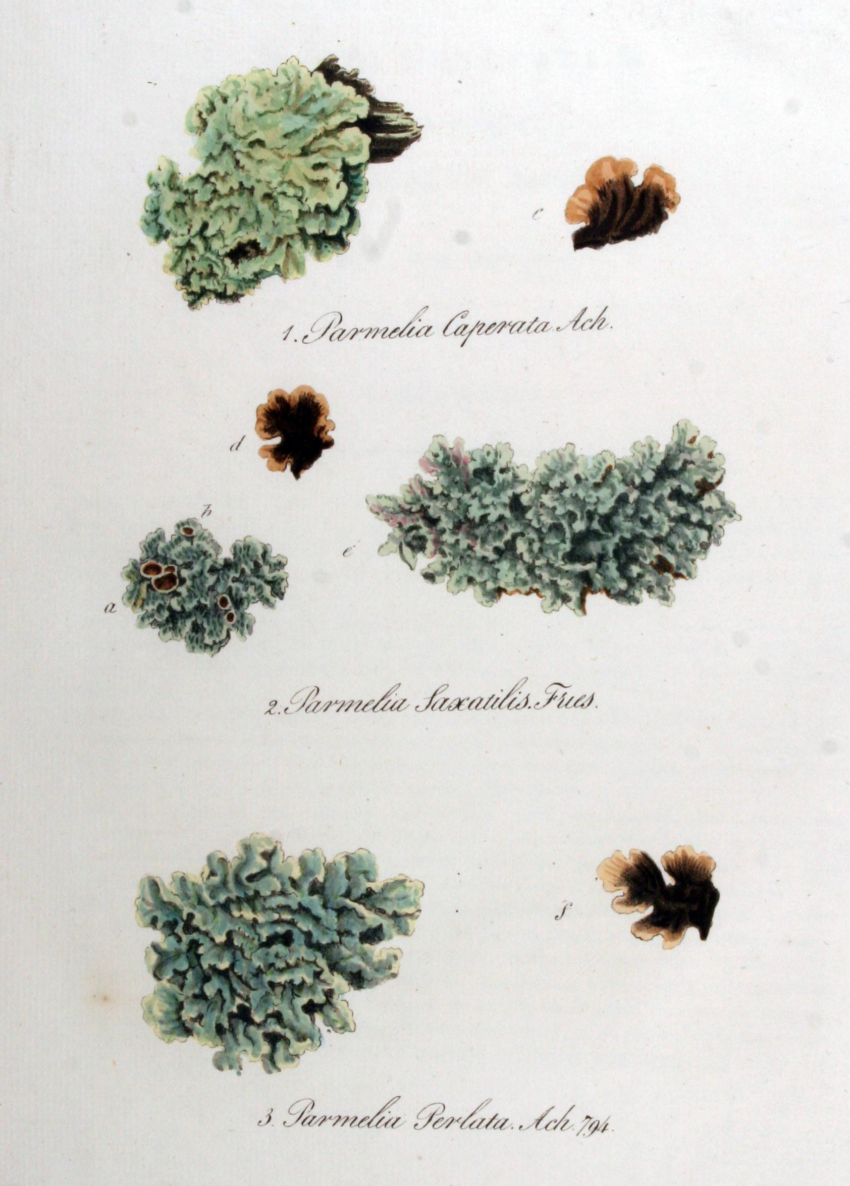 Image of Common greenshield lichen