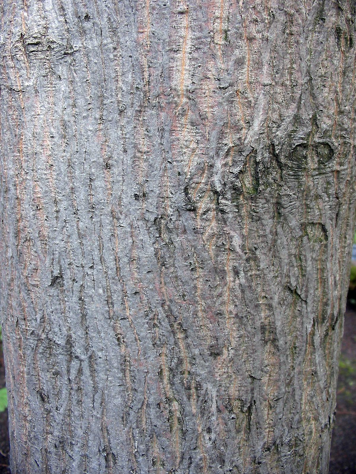 Image of <i>Acer pictum</i> C. P. Thunberg ex A. Murray