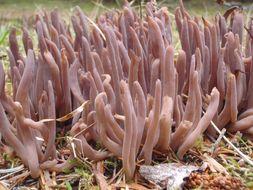 Image of <i>Alloclavaria purpurea</i> (Fr.) Dentinger & D. J. Mc Laughlin 2007