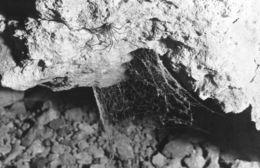 Image of <i>Tartarus mullamullangensis</i> Gray 1973