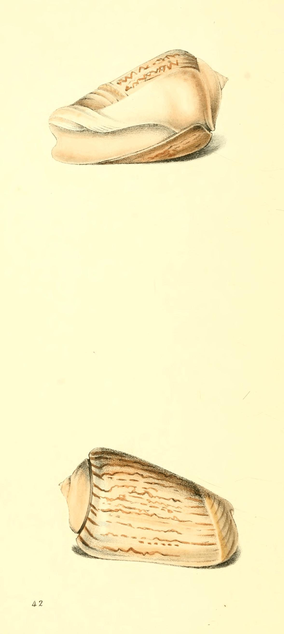 Image of bear ancilla