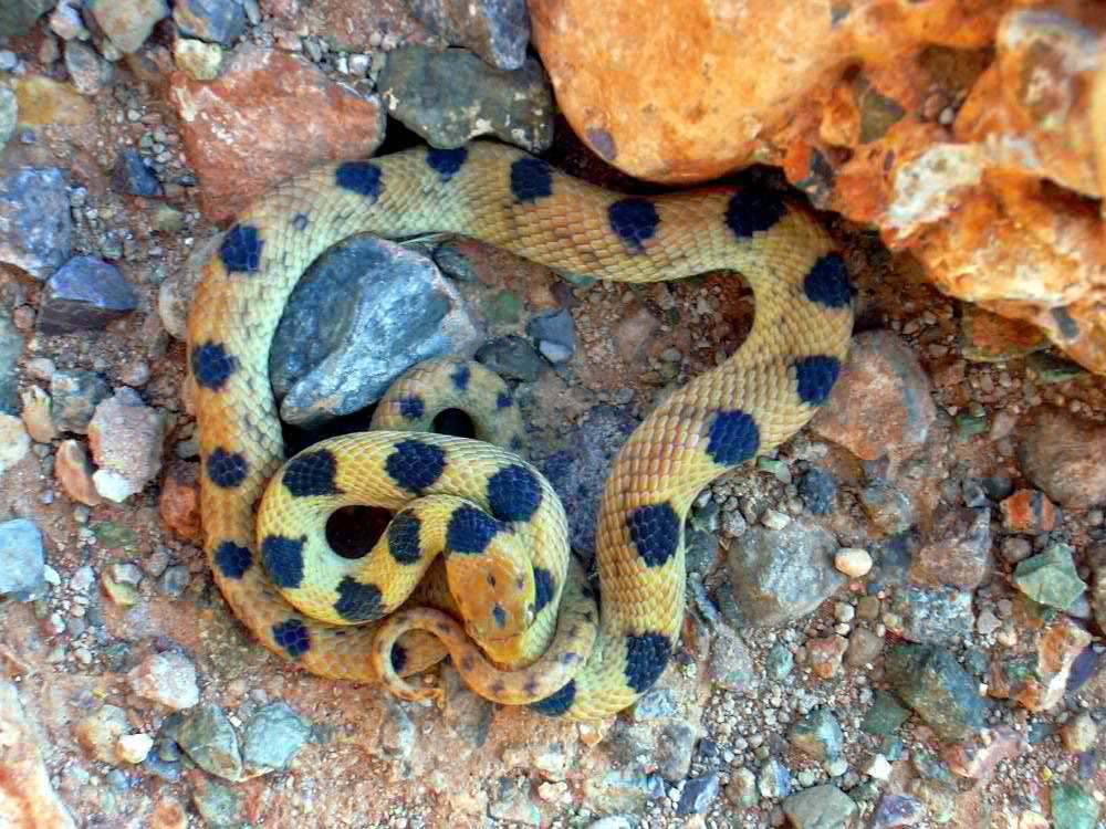 Image of Karoo Tiger Snake