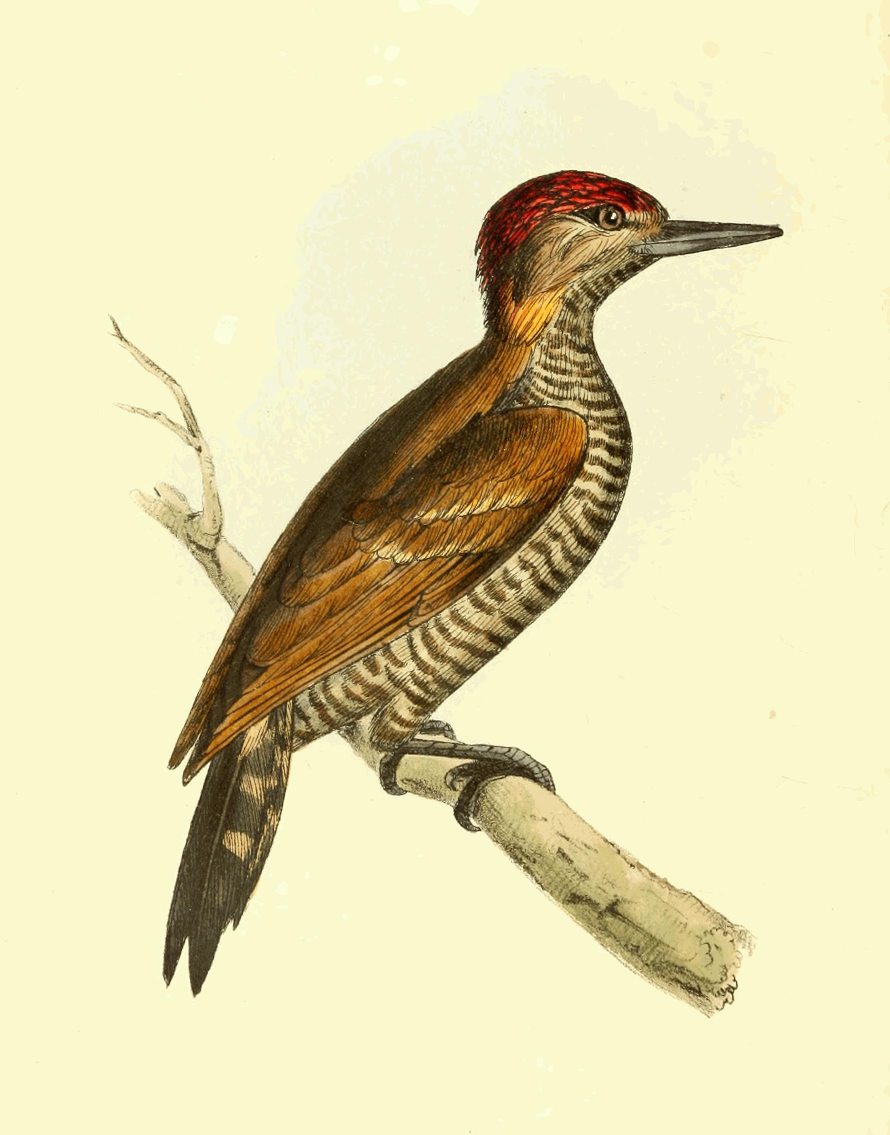 Image of Red-stained Woodpecker