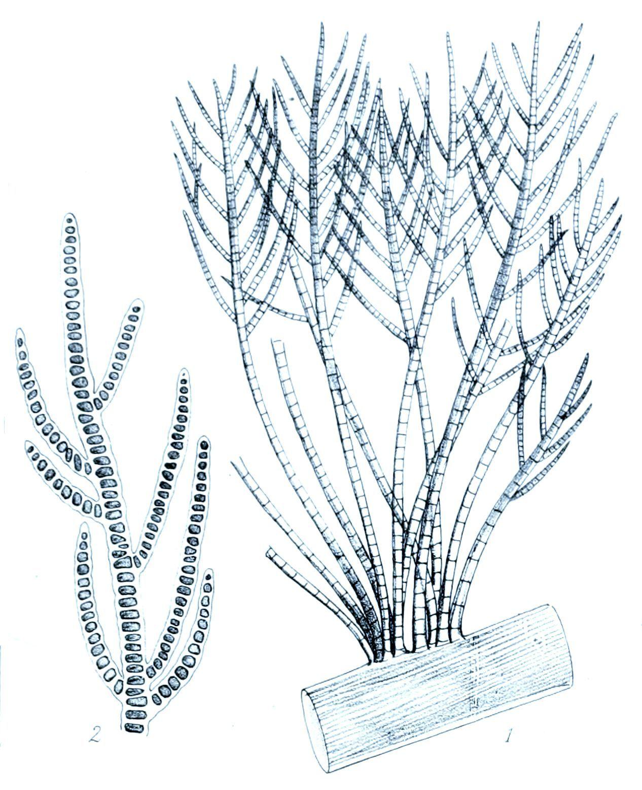 Image of Stigeoclonium