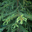 Image of Korean Spruce