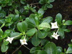 Image of <i>Bikkia tetrandra</i> (L. fil.) A. Rich.