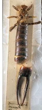 Image of Saint Helena giant earwig