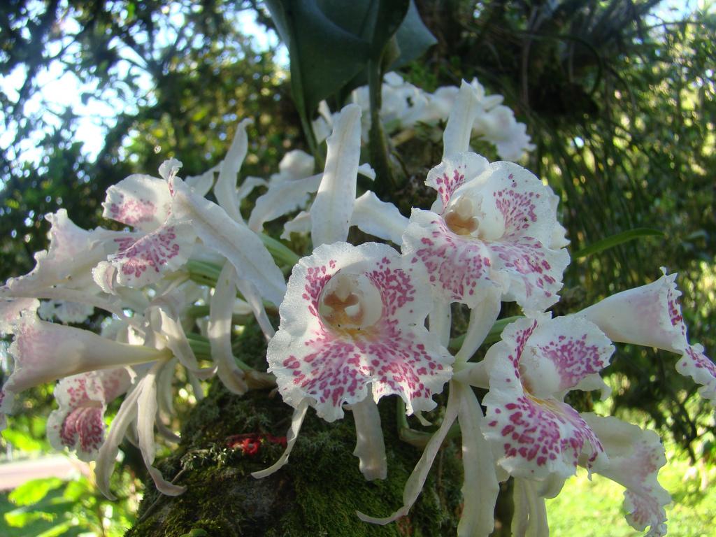 Image of <i>Trichopilia suavis</i> Lindl. & Paxton