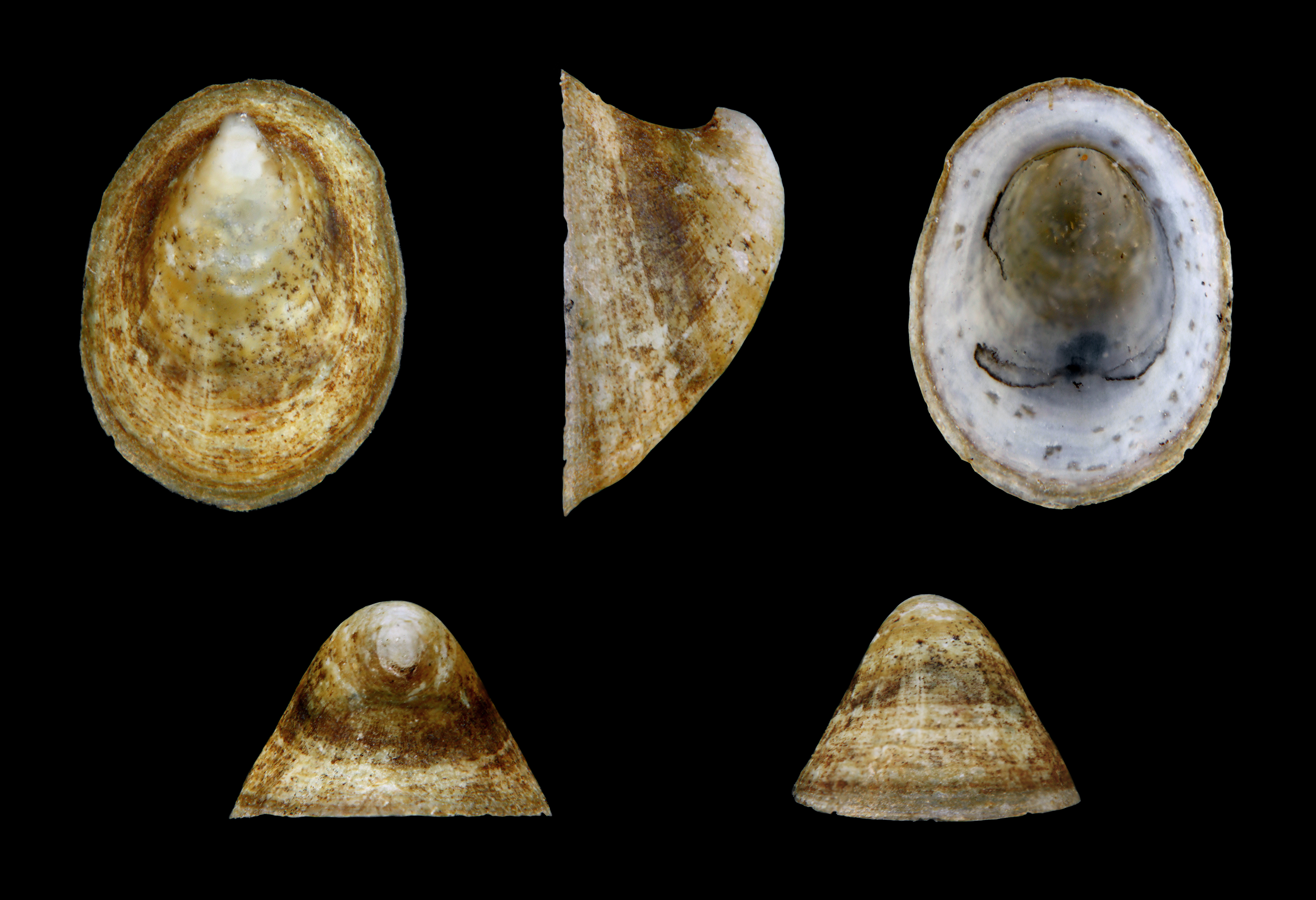 Image of River Limpet