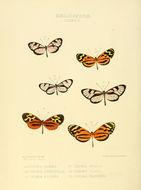 Image of <i>Hypothyris lycaste</i> Fabricius 1793