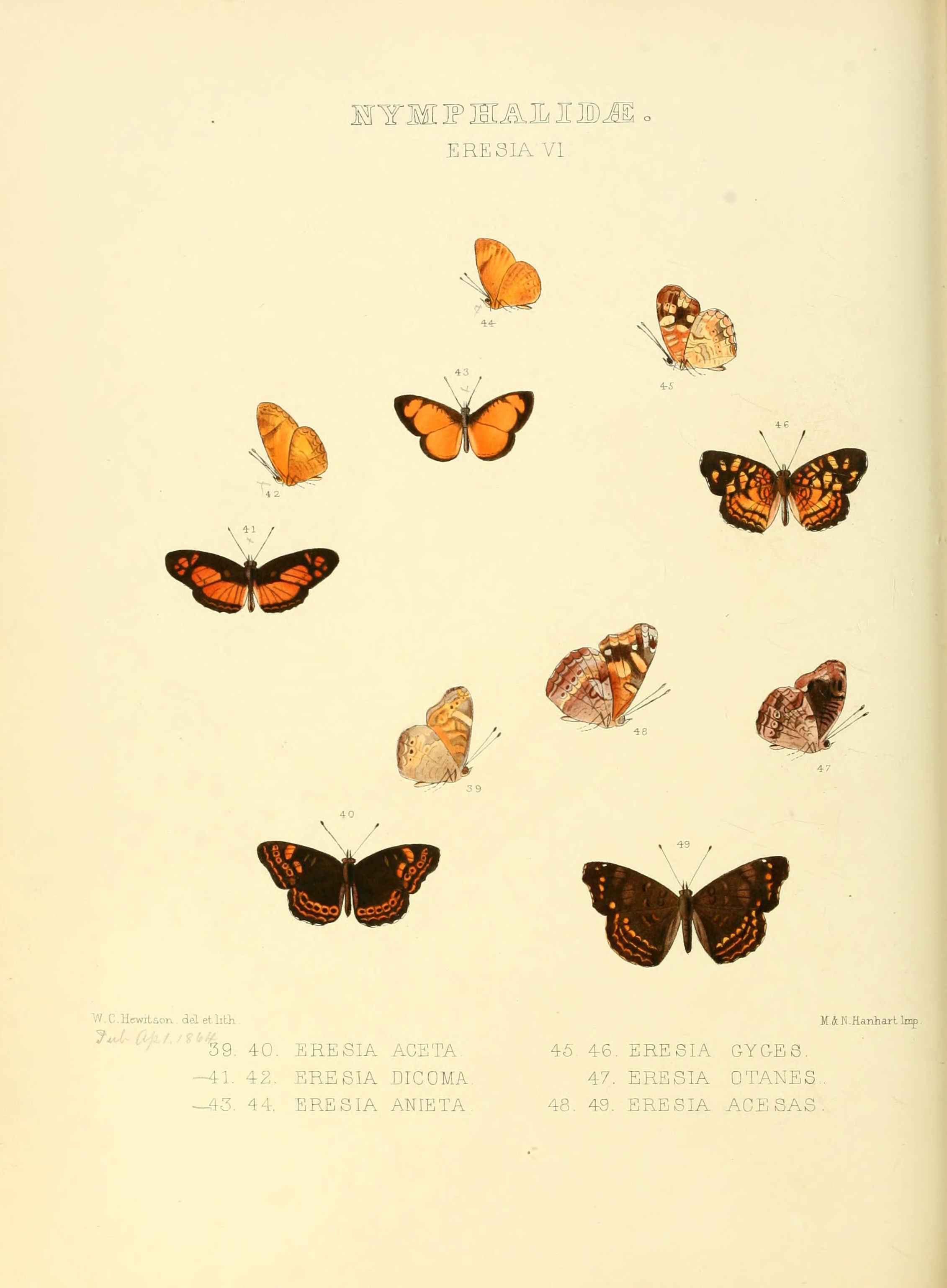 Image of <i>Tegosa anieta</i> Hewitson 1864