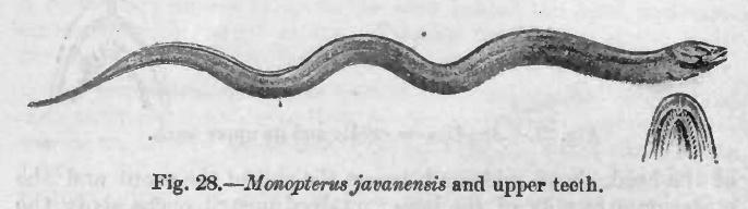 Image of Asian swamp eel
