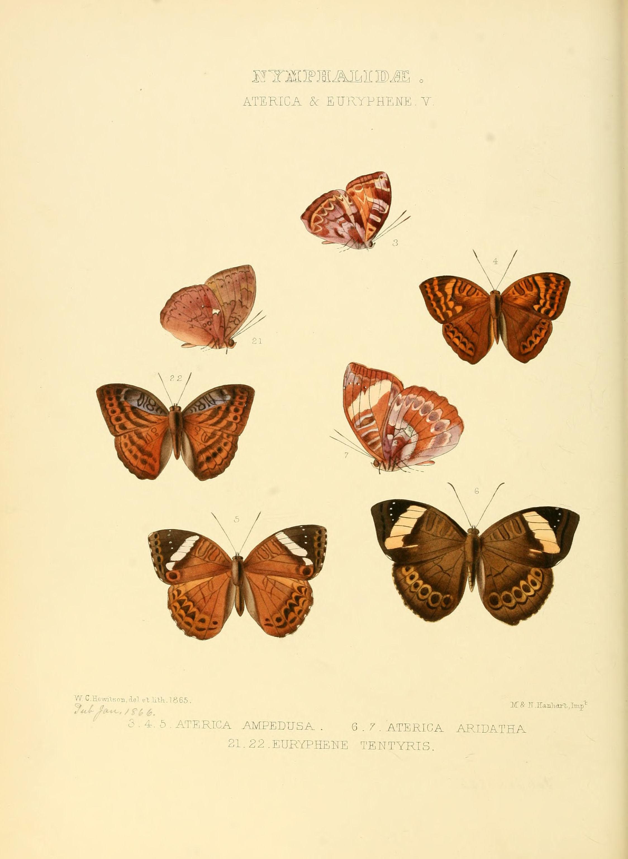 Image of <i>Euriphene ampedusa</i> Hewitson 1866