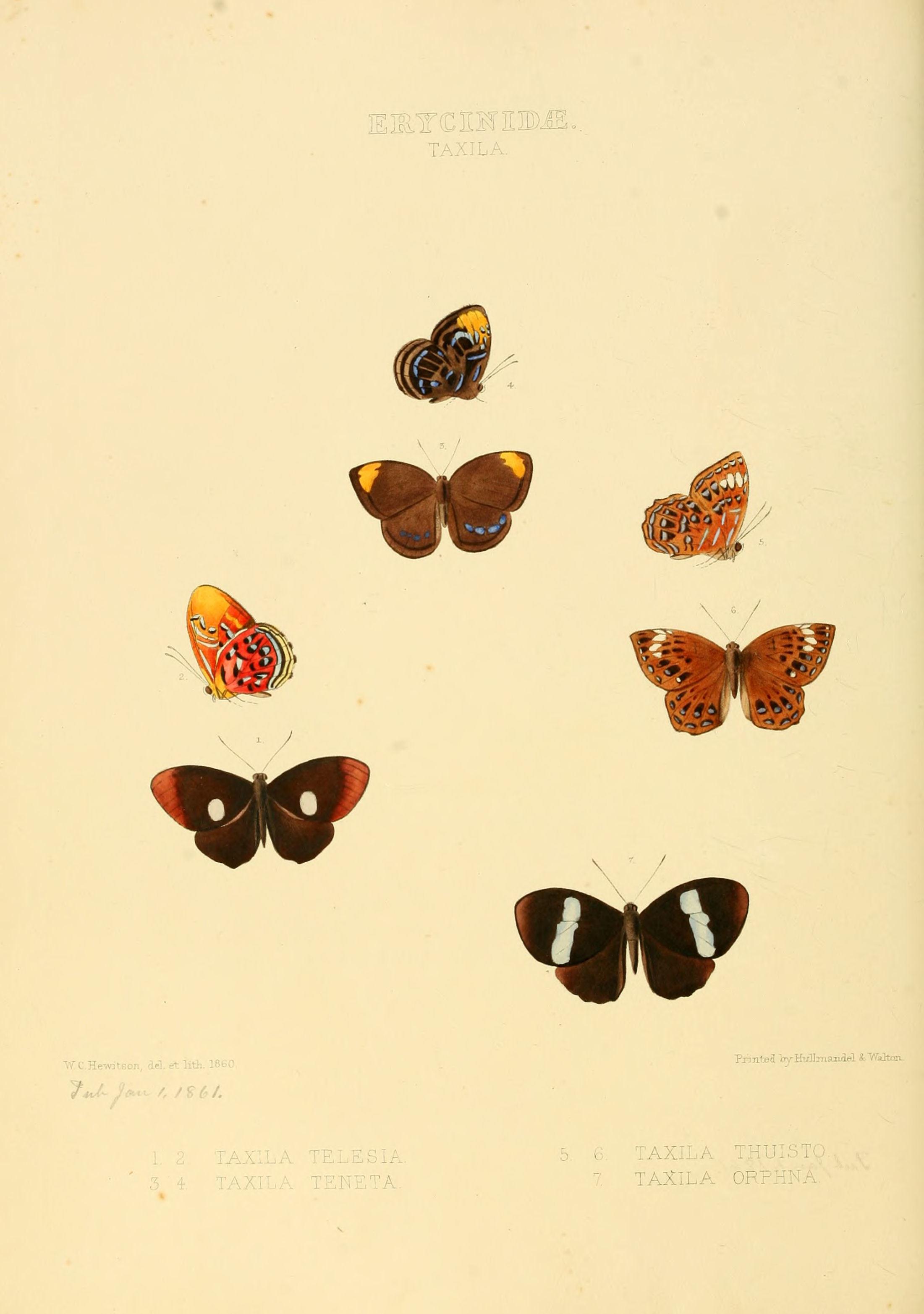 Image of <i>Paralaxita telesia</i> Hewitson 1865