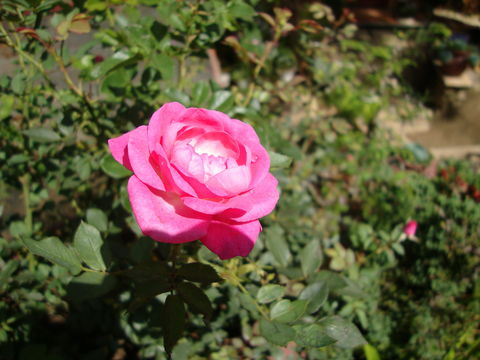 Image of Chinese rose