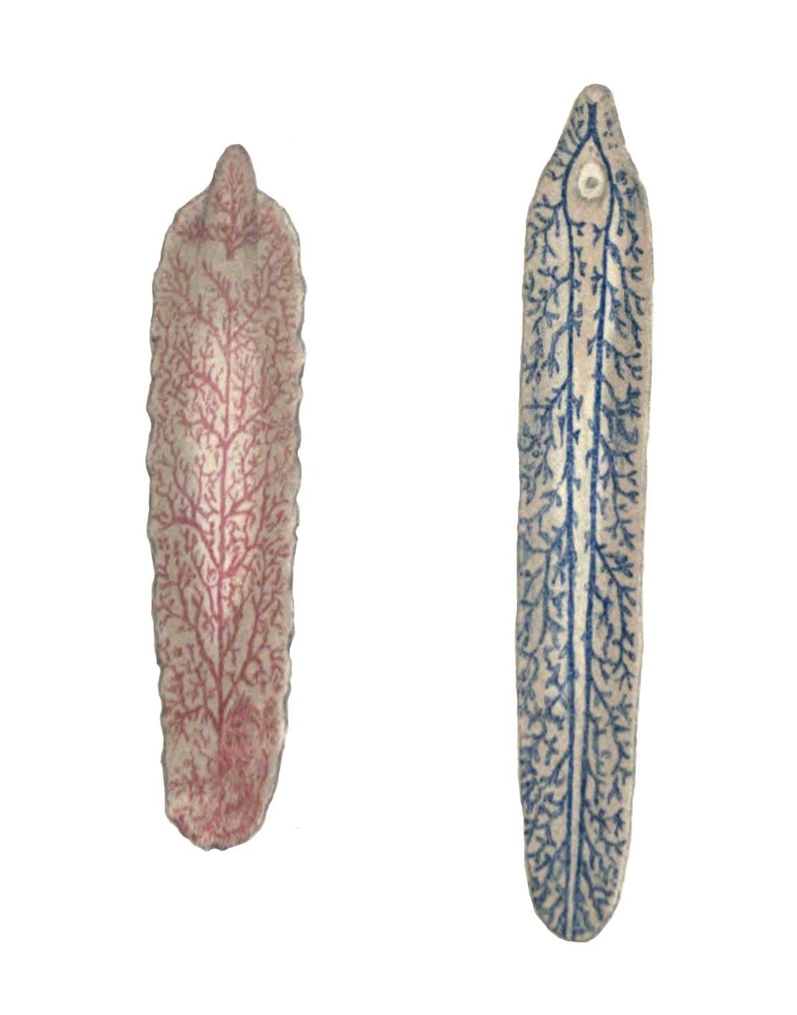 Image of <i>Fasciola gigantica</i> Cobbold 1855