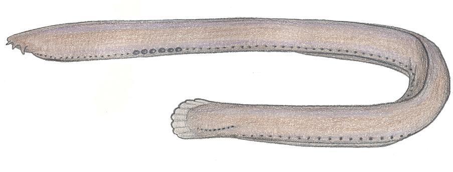 Image of <i>Eptatretus springeri</i> (Bigelow & Schroeder 1952)