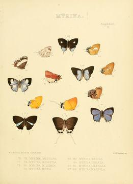 Image of <i>Mota massyla</i> (Hewitson 1869)