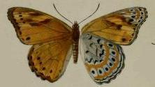 Image of <i>Sallya natalensis</i> Boisduval 1847