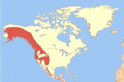 Image of American dipper